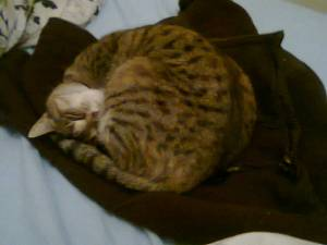 Tiger - the cat cuddled in my favorite brown fleece